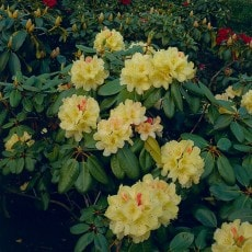 Rhododendron Flava 25-30 cm, 1 Pack