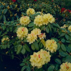 Rhododendron Flava 25-30 cm, 10 Pack