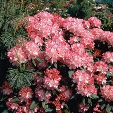 Rhododendron Morgonrot 25-30 cm, 5 Pack