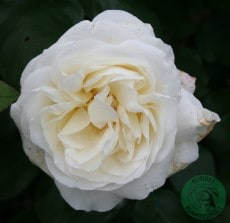 """Storblommig Ros Budde Rosa """"Claus Dalby"""""""